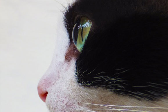 Cat's Eyes Cat Cat Face Animal Domestic Feline