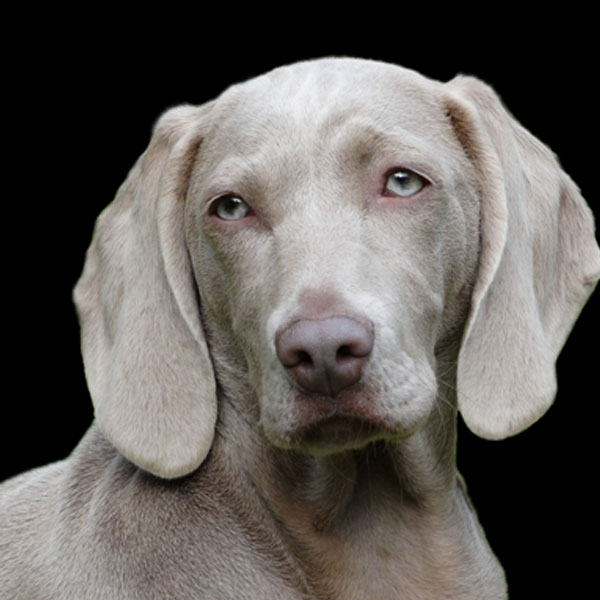 Remote Access Dog Portrait Weimaraner