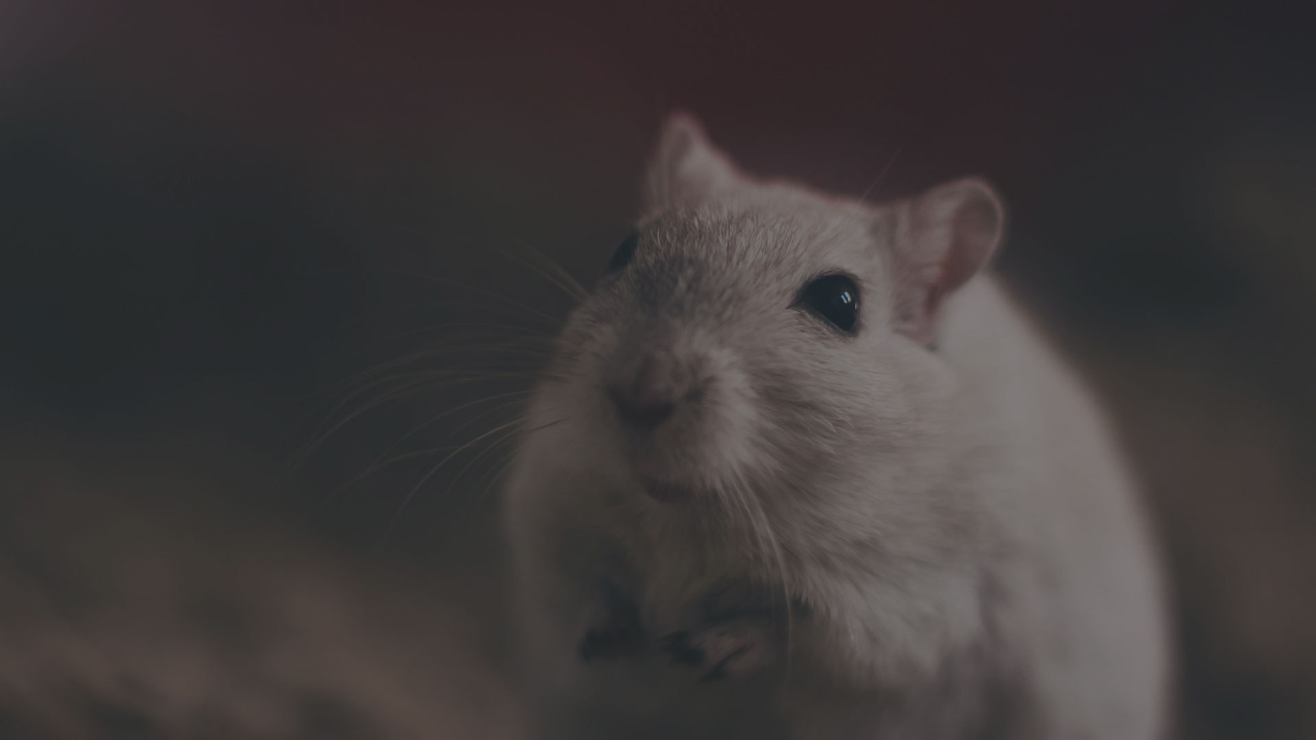 Adorable little pet mouse close up