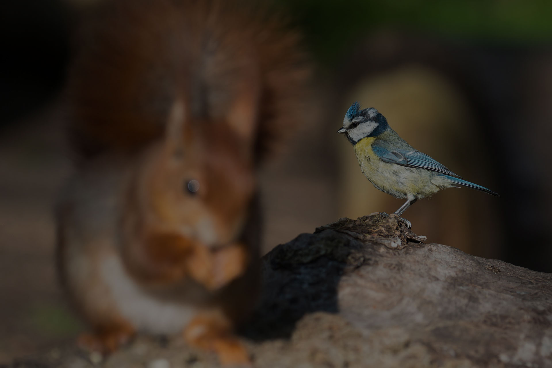 Squirrel Cyanistes Caeruleus Blue Tit