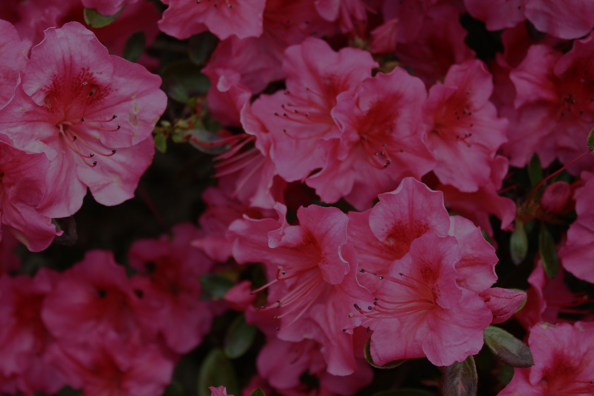 Blossom Rhododenron Pink Flowers Garden Bloom