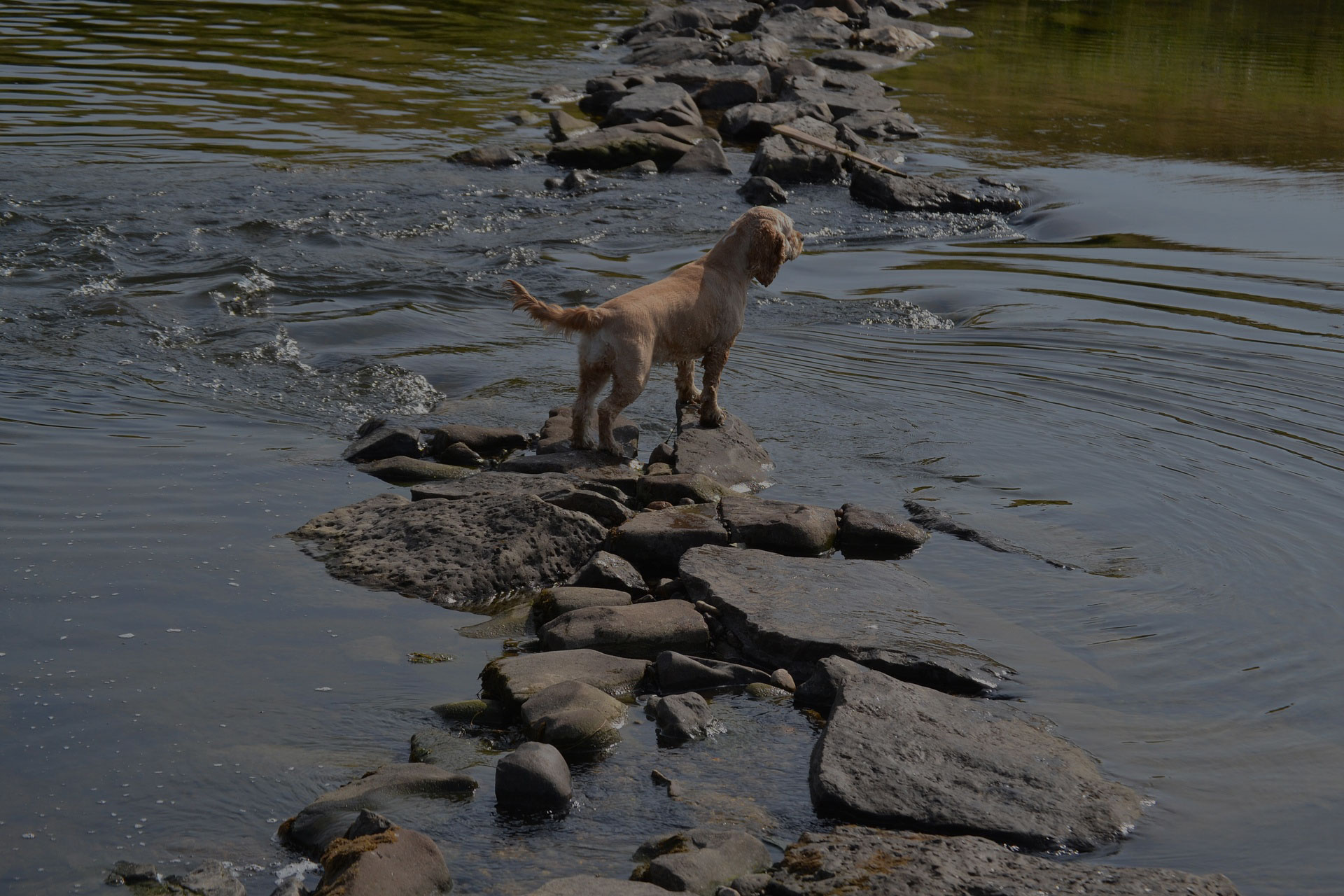 Dog on rocks in the river