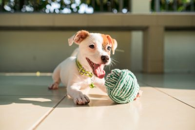 dog baby Jack russell terrier playing ball
